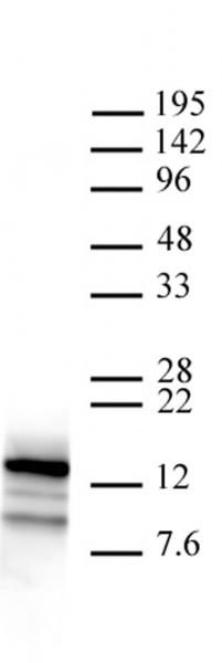 Htz1 / Histone H2A.Z antibody (pAb) tested by ChIP.
