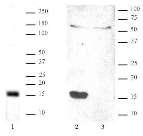 Htz1 / Histone H2A.Z antibody (pAb) tested by Western blot.