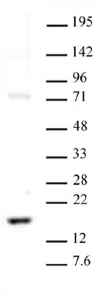 Histone H3K23me2 antibody (pAb) tested by Western blot.