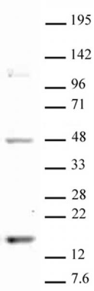 Histone H3K18me1 antibody (pAb) tested by Western blot.