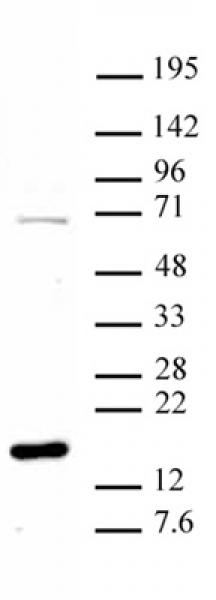 Histone H3R8me1 antibody (pAb) tested by Western blot.