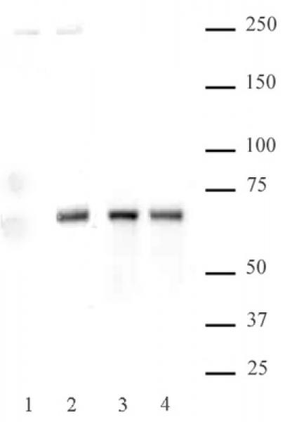 NFκB p65 phospho Ser536 antibody (pAb) tested by Western blot.