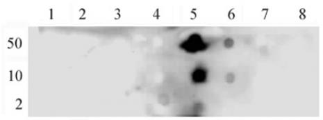 NFκB p65 phospho Ser536 antibody (pAb) tested by dot blot analysis.