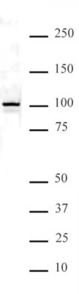NFκB p100 antibody (pAb) tested by Western blot.