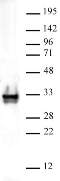 Histone H1 antibody (pAb) tested by Western blot.