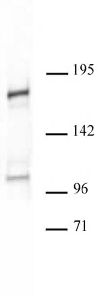 Acf1 antibody (pAb) tested by Western blot.