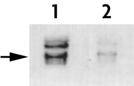 Histone H3T45ph antibody (pAb) tested by Western blot.