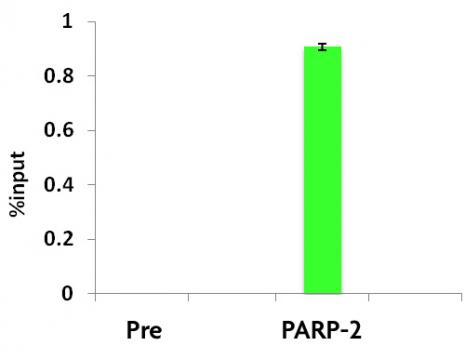 PARP-2 antibody (pAb) tested by ChIP.