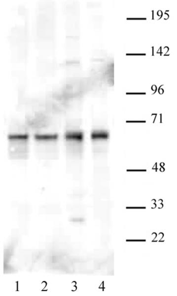 PARP-2 antibody (pAb) tested by Western blot.