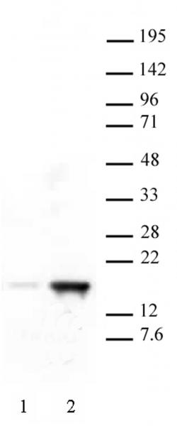 Histone H3K18ac antibody (pAb) tested by Western blot.