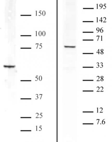 Bcl3 antibody (pAb) tested by Western blot.