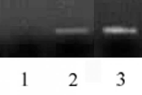 Histone H3 antibody (mAb) tested by ChIP.
