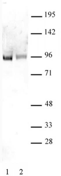 Sp1 non-phospho antibody (pAb) tested by Western blot.