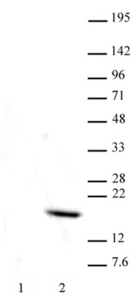 Histone H3T11ph antibody (mAb) tested by Western blot.