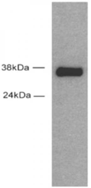 Sox2 antibody (pAb) tested by Western blot.