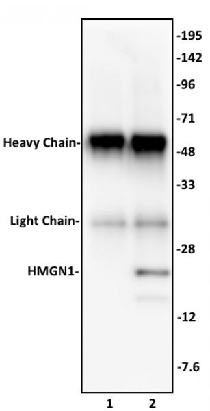 HMGN1 antibody (pAb) tested by immunoprecipitation.