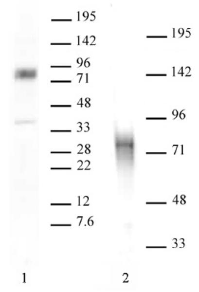 MBD1 antibody (pAb) tested by Western blot.