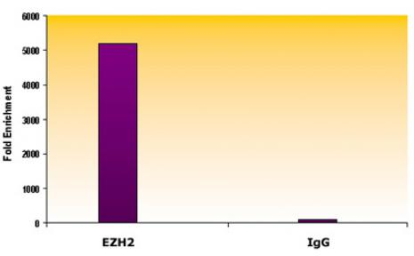 EZH2 antibody (mAb) tested by ChIP.