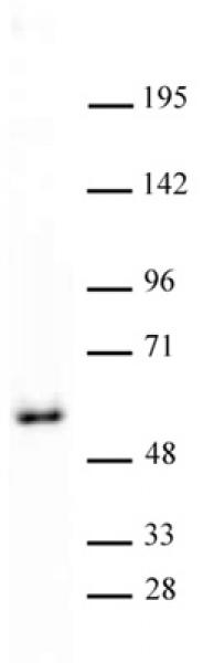 GATA-4 antibody (pAb) tested by Western blot.