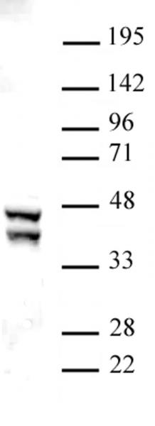 SIRT2 antibody (pAb) tested by Western blot.