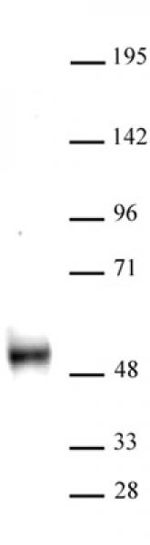 DNMT3L antibody (pAb) tested by Western blot.