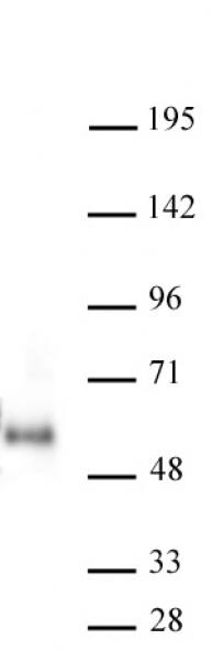 MAZ antibody (mAb) tested by Western Blot.
