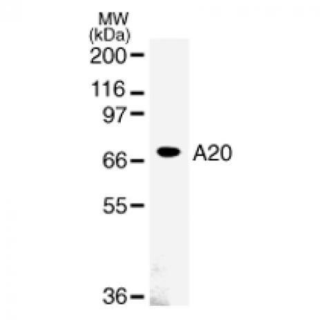 A20 antibody (mAb) tested by Western blot.