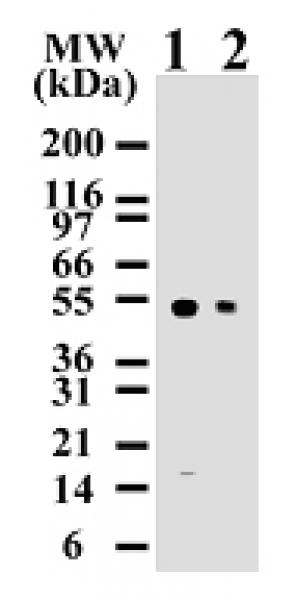 Caspase-8 antibody (mAb) tested by Western blot.