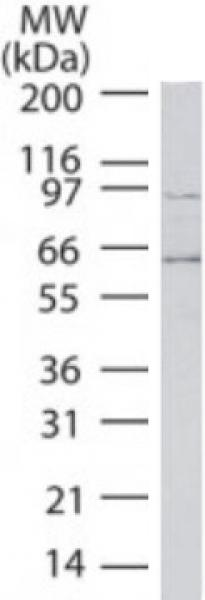 ATF-6 antibody (mAb) tested by Western blot.