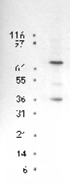 p73 antibody (mAb) tested by Western blot.