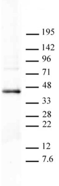 PRMT6 antibody (pAb) tested by Western blot.