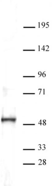 ERR-α antibody (pAb) tested by Western blot.