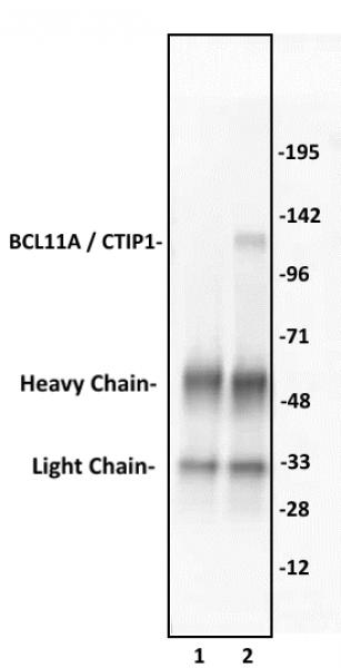 BCL11A / CTIP1 antibody (pAb) tested by immunoprecipitation.