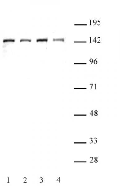 SMC3 antibody (pAb) tested by Western blot.