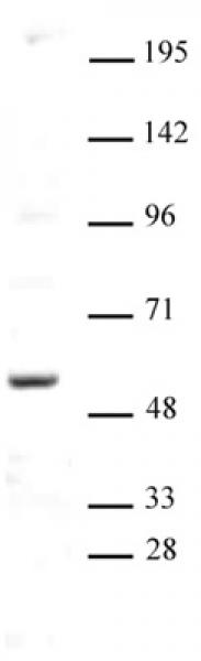 AIRE antibody (pAb) tested by Western blot.
