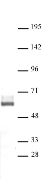 LXR-β antibody (pAb) tested by Western blot.
