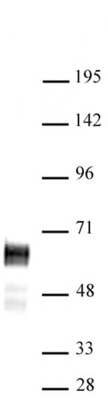 N-Myc antibody (pAb) tested by Western blot.