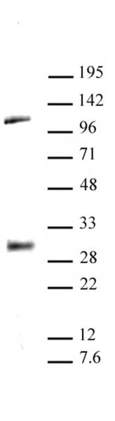 LIN28A antibody (pAb) tested by Western blot.