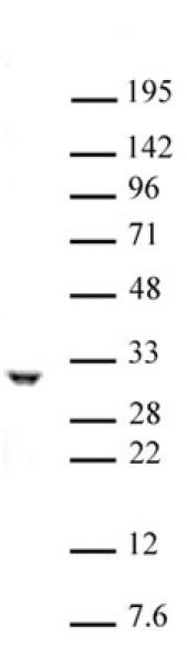 PHB / Prohibitin antibody (pAb) tested by Western blot.