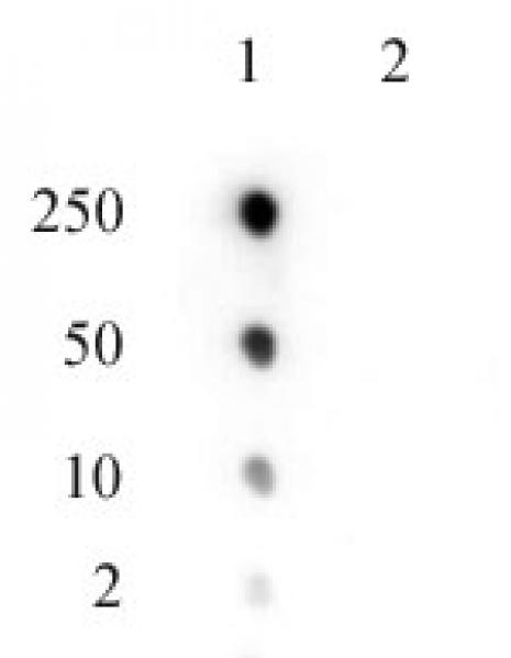 EZH2 phospho Thr345 antibody (pAb) tested by dot blot analysis.