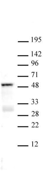 SMAD3 antibody (pAb) tested by Western blot.