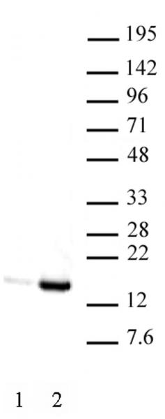 Histone H3K9ac antibody (mAb) tested by Western blot.
