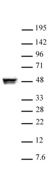 CTBP2 antibody (pAb) tested by Western blot.
