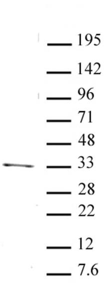 PITX2 antibody (pAb) tested by Western blot.