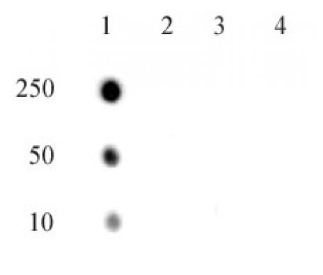 RNA Pol II CTD phospho Thr4 antibody (pAb) tested by dot blot analysis.