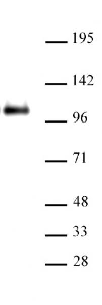 CTCF antibody (pAb) tested by ChIP.