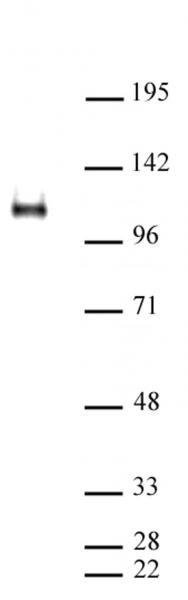 CTCF antibody (pAb) tested by Western blot.