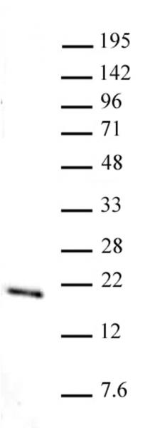 Histone H3K36me1 antibody (pAb) tested by Western blot.