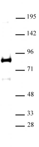 XRCC1 antibody (pAb) tested by Western blot.