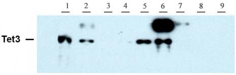 Tet3 antibody (pAb) tested by Western blot.